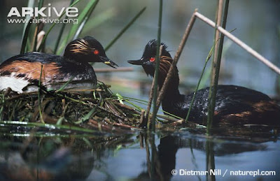 Black necked Grebe nest