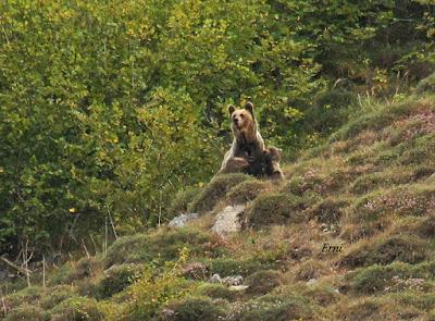 Oso pardo (Ursus arctos arctos) en Somiedo