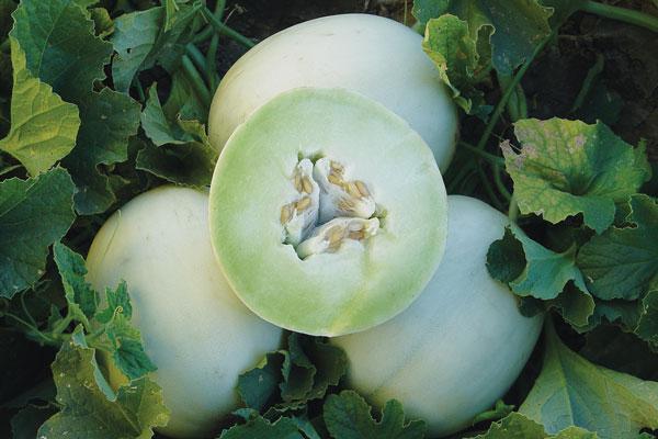 Cách trồng Dưa lê và chăm bón dưa lê