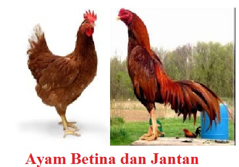 Mengenal Hewan Ayam dan Penjelasannya