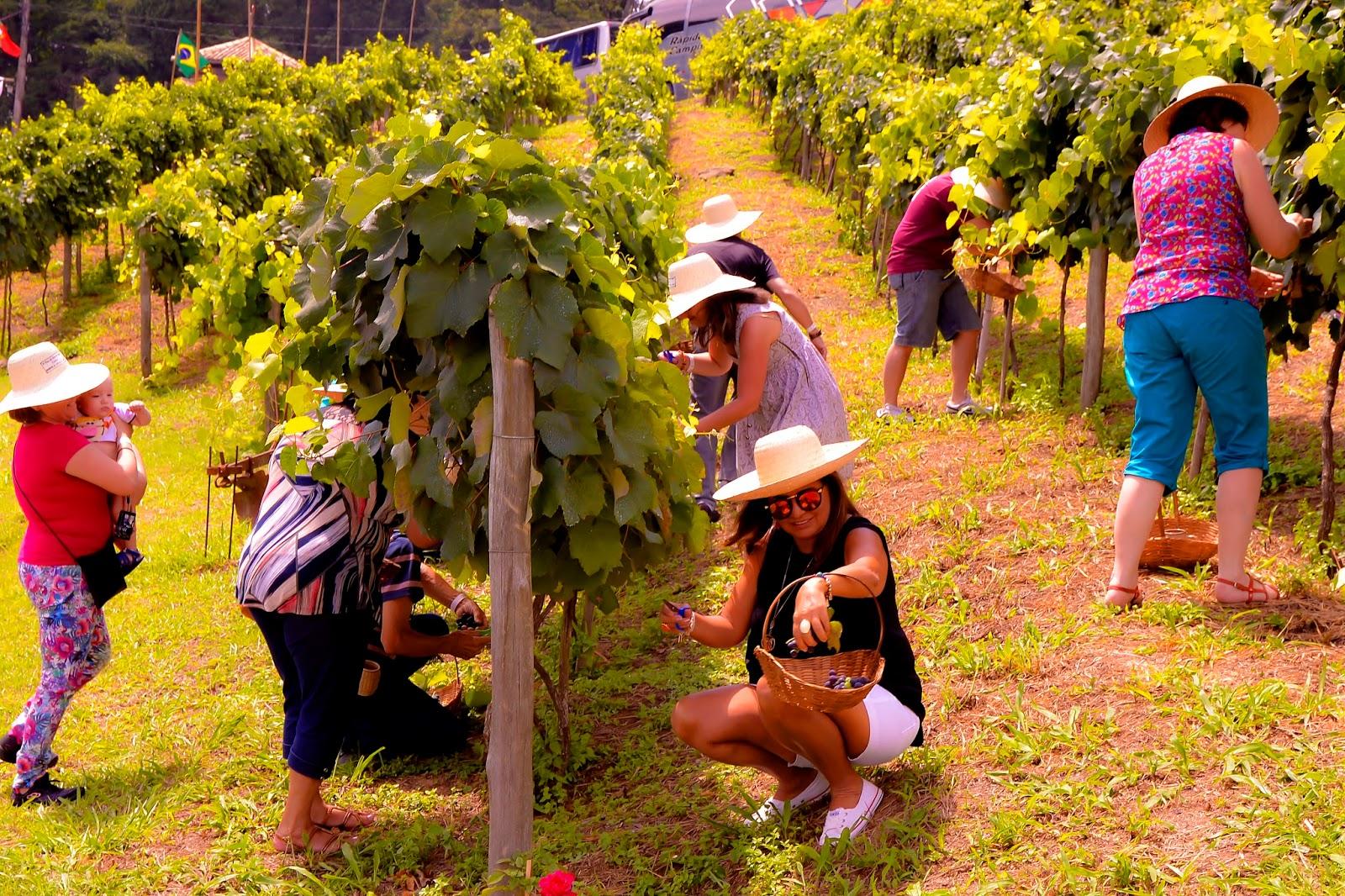 Pisa da Uva da Quinta do Olivardo segue até 3 de fevereiro