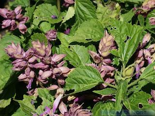 Salvia splendens 'Sizzler Lavender' - Série 'Sizzler' (Horticole)