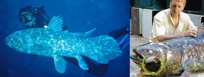 Ikan Coelacanth atau ikan Raja Laut (360 juta tahun)