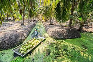 sistim pengairan kelapa thailand