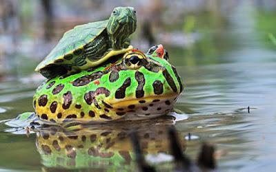imagenes de sapos, ranas y tortugas