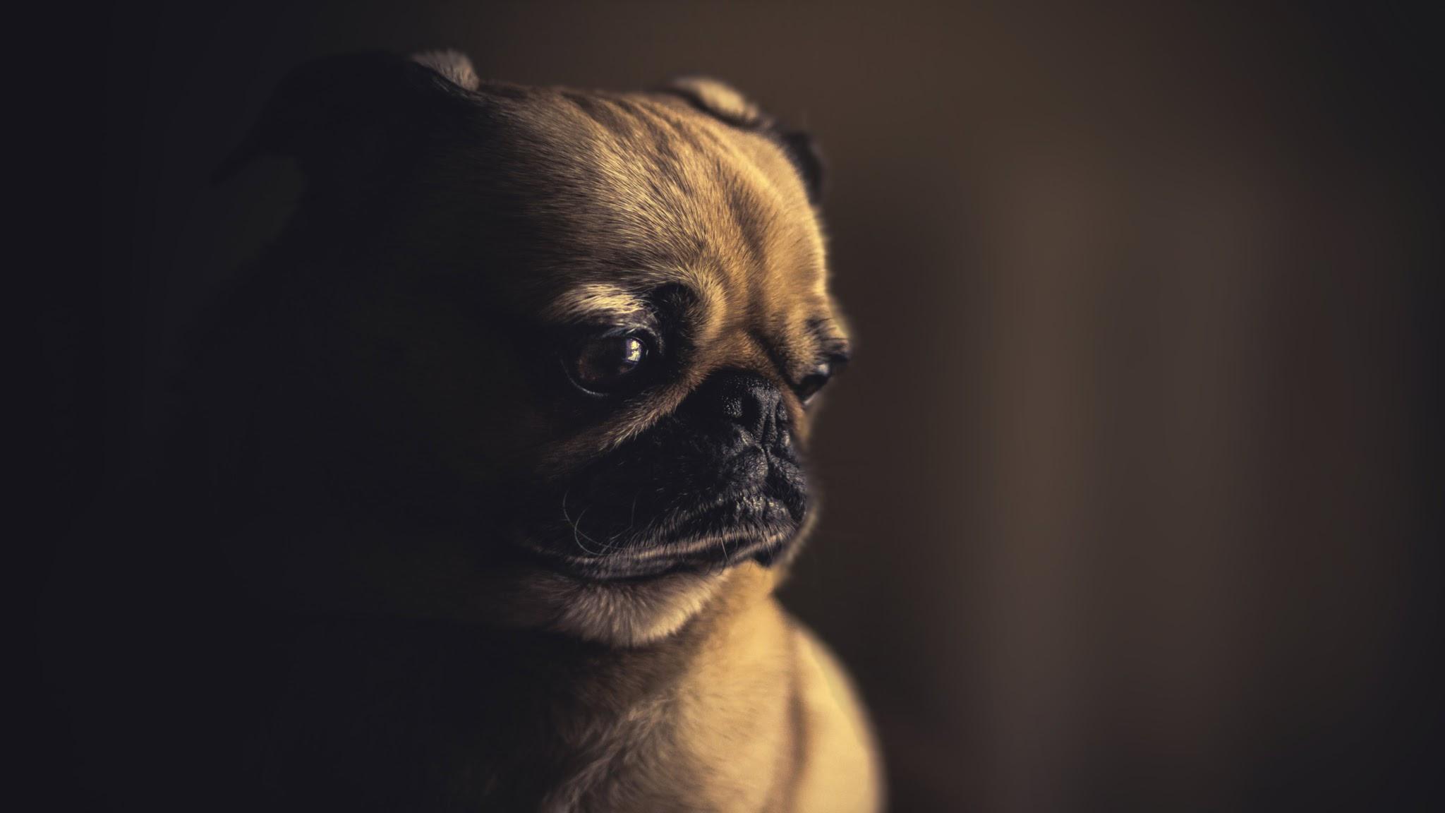 E Pug Gratis Papel de Parede Cachor...