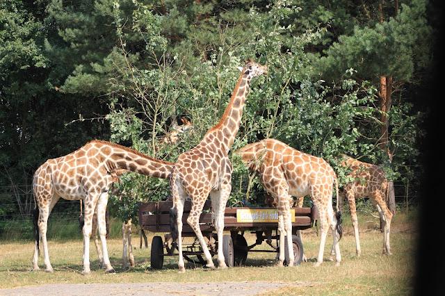 Safari mit frei laufenden Giraffen mitten in Deutschland