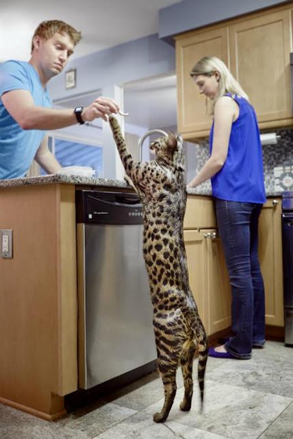 Chú mèo có đuôi dài nhất thế giới