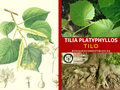 Tilia platyphyllos, Tilo árbol perteneciente a la familia de las Malvaceae