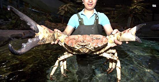 Coconut Crab - Caranguejo coco - Capa