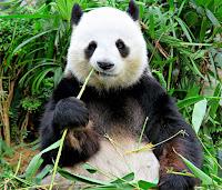 Yetişkin bir panda oturarak bambu yerken