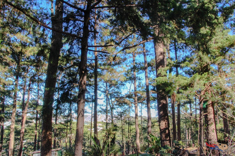 Coniferous trees in Baguio City due to cold climate