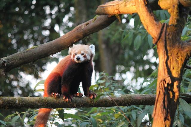 9-Padamaja-Naidu-Himalayan-Zoological-Park-Red-Panda