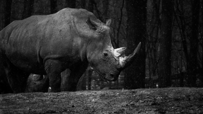 Wallpaper: Rhino at Zoo