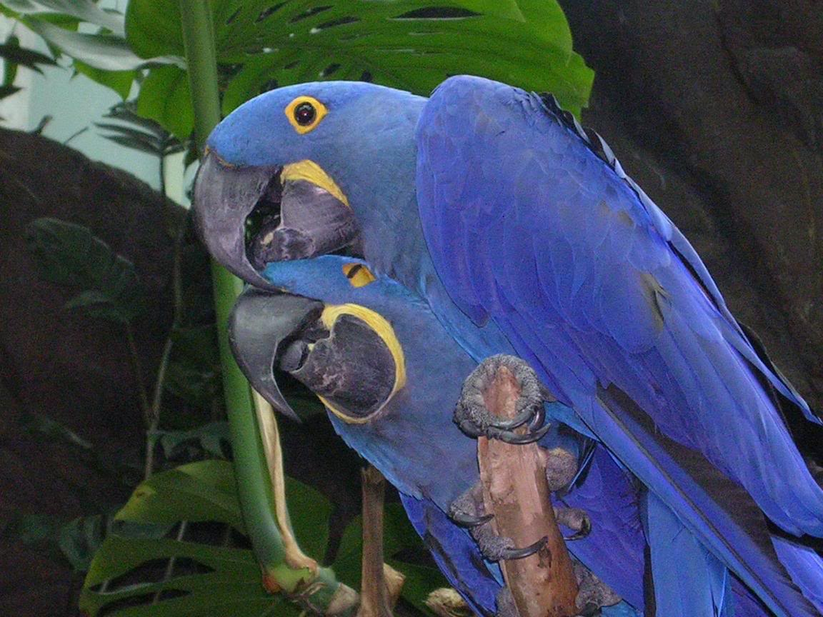 Blu, my Hyacinth Macaw flying (Amazing slow motion video ... |Blue Macaw Parrot Flying