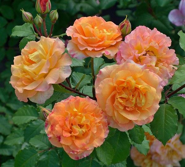Pour L'Amour d'un Chateau сорт розы фото саженцы