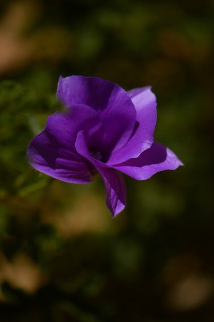 alyogyne huegelii, blue hibiscus, garden bloggers bloom day, small sunny garden, amy myers, photography, desert garden