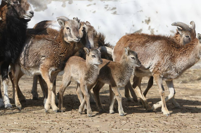 Cuteness overload: Shandong zoo welcomes rare wild sheep