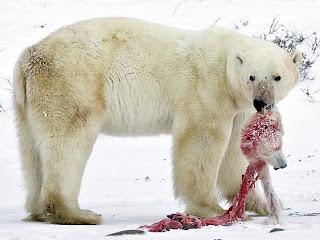 Oso Polar muriendo de hambre