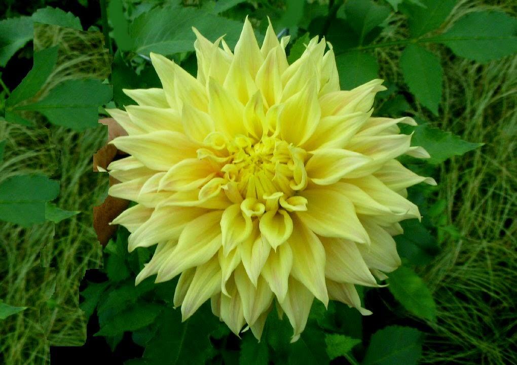 yellow dahlia flower - photo #44