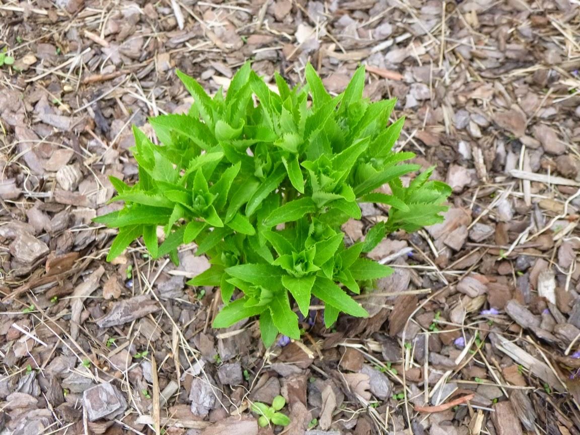 在气球花(Platycodon)的新鲜的明亮的绿色生长