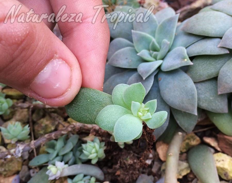 Esqueje de hoja de la planta suculenta Echeveria carnicolor