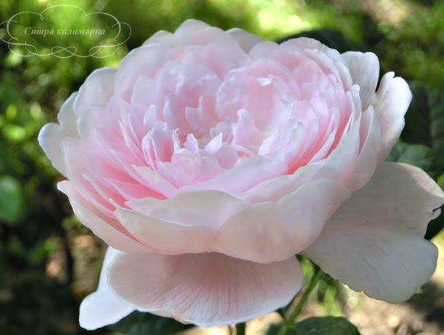 Queen of Sweden Devid Austin, розы остинки, розы Дэвида Остина, розарии, сочетания роз