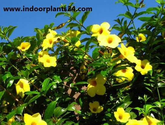 Allamanda cathartica indoor house plant pic