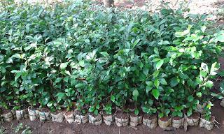 Jual Bibit Pohon Teh-Tehan,Pohon untuk pagar