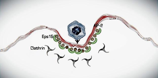Endocitosis y transporte de moleculas en biologia