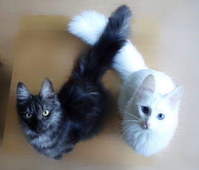 Turkish Angora Pair