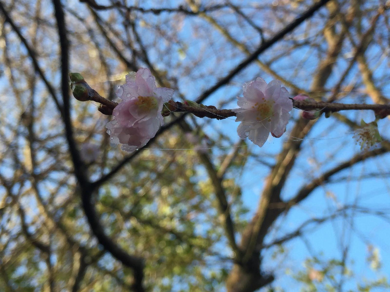 prunus sub autumnalis rosea - autumn - winter flowering cherry