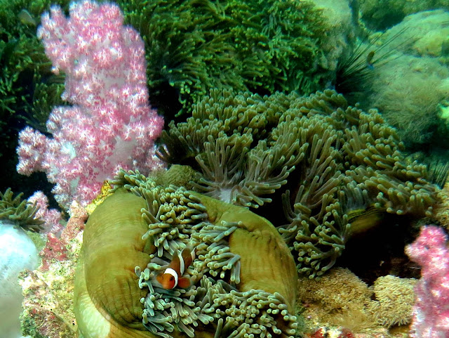 two-bar clown fish, sea anemone, malacca straits, thailand, koh lipe, underwater