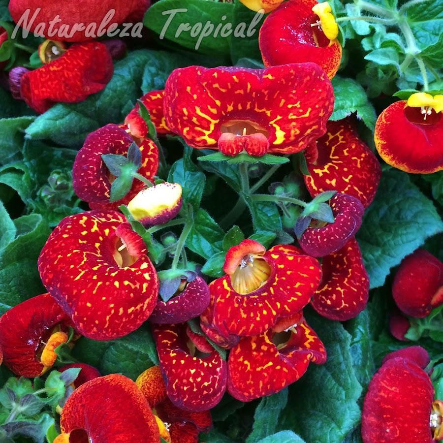 Floración de una planta Zapatillas de Venus, género Calceolaria. Flores rojas con pocas manchas amarillas