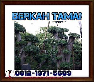 pohon bonsai beringin korea ( ficus longisland)