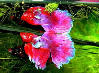 Ikan Hias yang Bisa Dipelihara Tanpa Aerator (Pompa Oksigen)