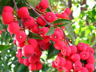 Riberry Fruit Pictures