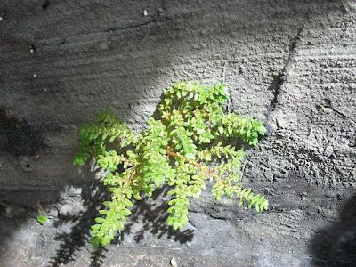 Pilea microphylla, Helecho arroz, Garrapatita, artillery plant, alabong, Xiao ye leng shui hua
