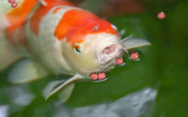 Pakan Ikan Koi Terbaik Agar Cepat Besar Dan Warnanya Cerah Mag Fish