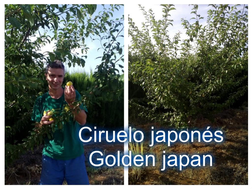 Cultivar el huerto casero la poda del ciruelo en el for Cuando podar cerezos y ciruelos