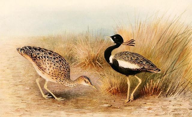Lesser Florican Facts, Bengal Florican Fact,खरमोर पक्षी के बारे में रोचक जानकारी