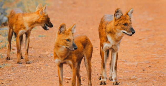 A pack of wild dogs on the jeep track inside Tadoba Tiger Reserve, India