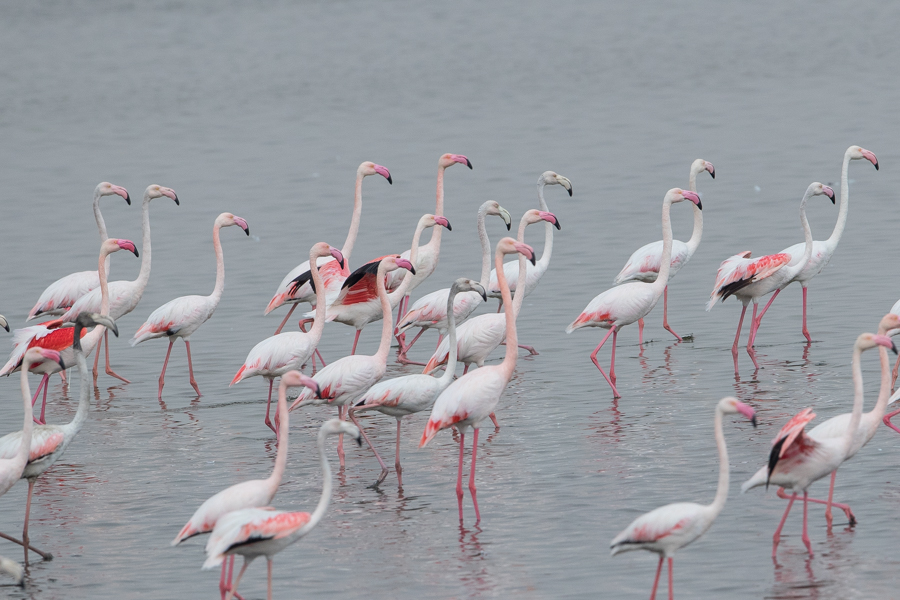 Greater Flamingo flocks – Jubail