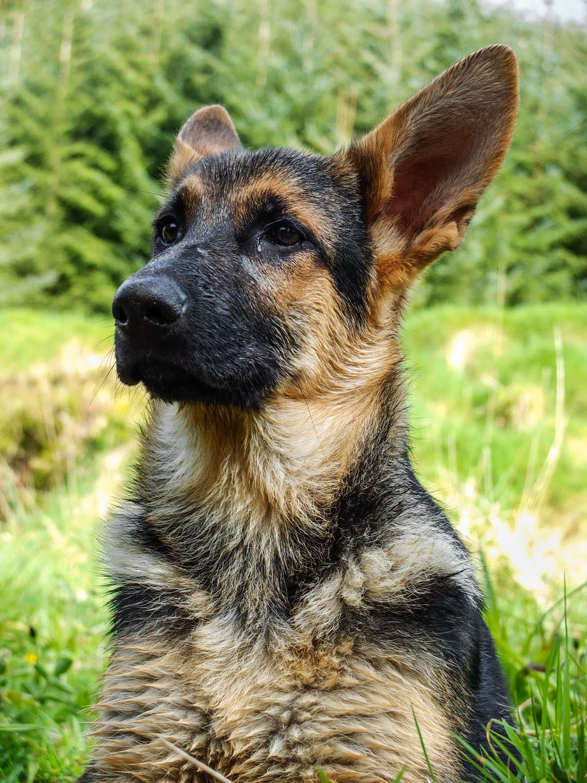 A German Shepherd pup Nala sitting with her head high and ears back.