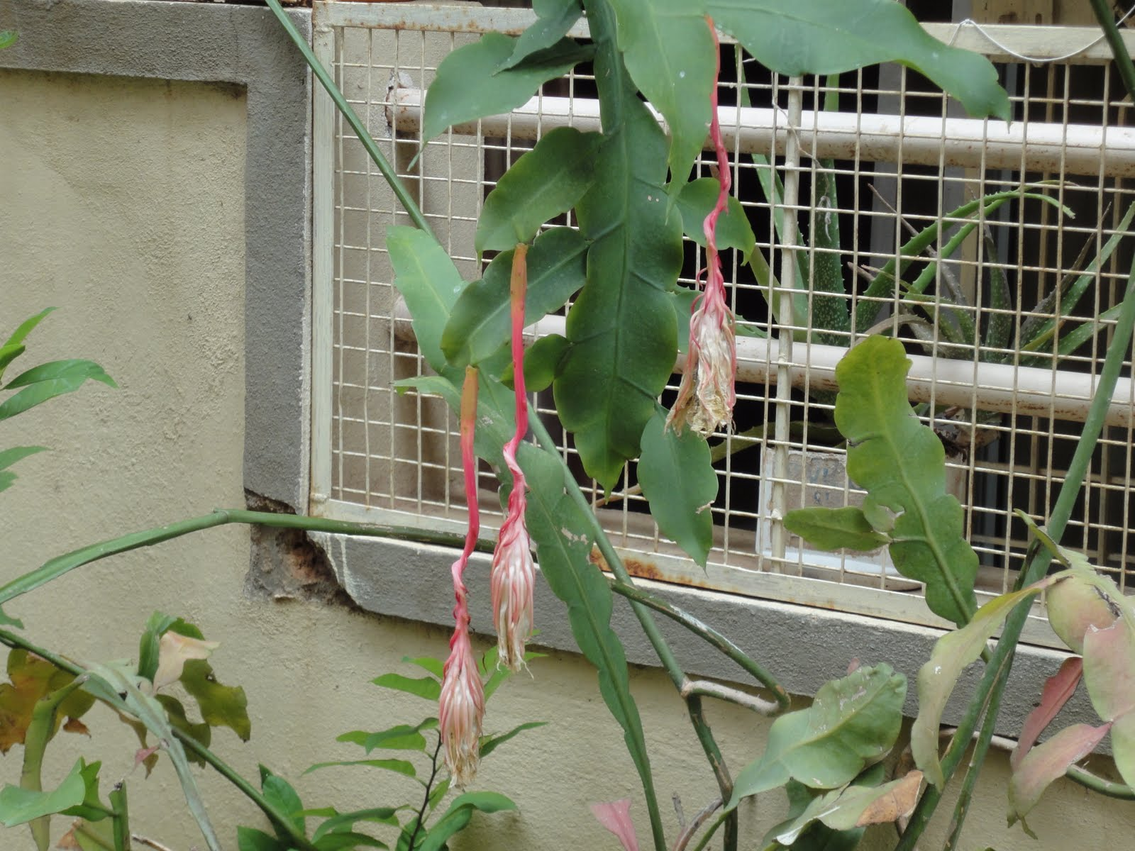 Brahma kamalam plant in bangalore dating