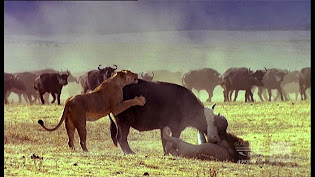 Lions Trying To Kill A Member Of The Herd