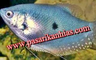 Contoh Umpan Ikan Sepat Siam