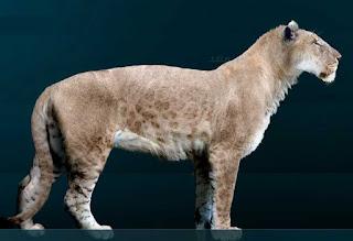 León americano - Panthera leo atrox