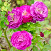 Roseira 'Blue Eden'