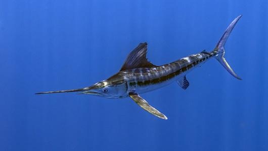 Kılıç Balığı Özellikleri ve Hakkında Bilgi